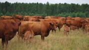 Жывой вес корова